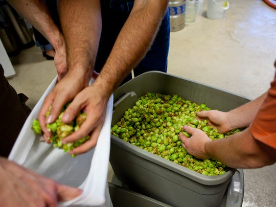 Brewers gold hops are transfered into bags for brewing.