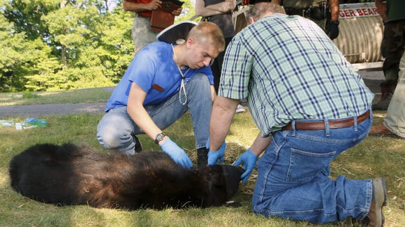 A camper at the Wildlife Leadership Academy helps PA bear biologist and Ursids instructor, Mark Ternent, weigh and measure an anesthetized bear. The bear was later released safely back into its habitat.
