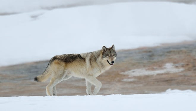 Stock image of a gray wolf.