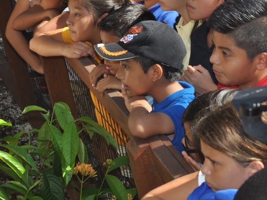 Children from Parkside Elementary intently watch a female fosa try to get treats that are hanging from a tree.