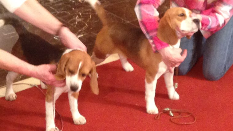 Dani, left, and Lager represent the Beagle breed at