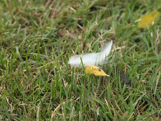 One feather of many found on the lawn of Tom Golisano's