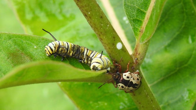 If you look closely, you can see the beak of the anchor bug sticking into the monarch caterpillar.