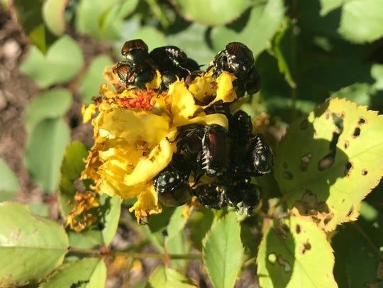 Japanese beetles devour a yellow rose in the Hendricks