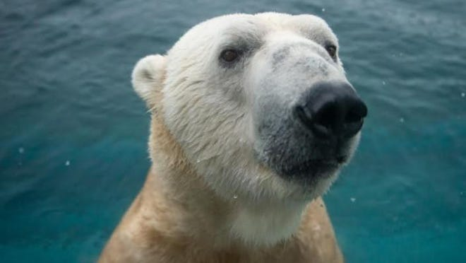 Lee, a 20-year-old male polar bear, will soon be leaving the Columbus Zoo and Aquarium, the zoo announced Friday, Aug. 21, 2020.