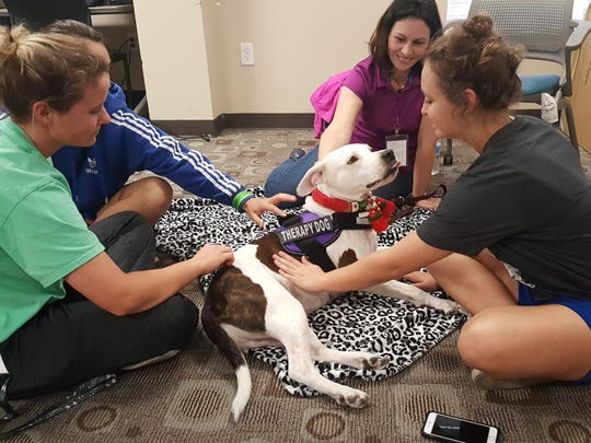 Oona, a 4-year-old American Staffordshire terrier, gets petted during a recent visit to Texas A&M University-Kingsville to help students relax before the new semester.