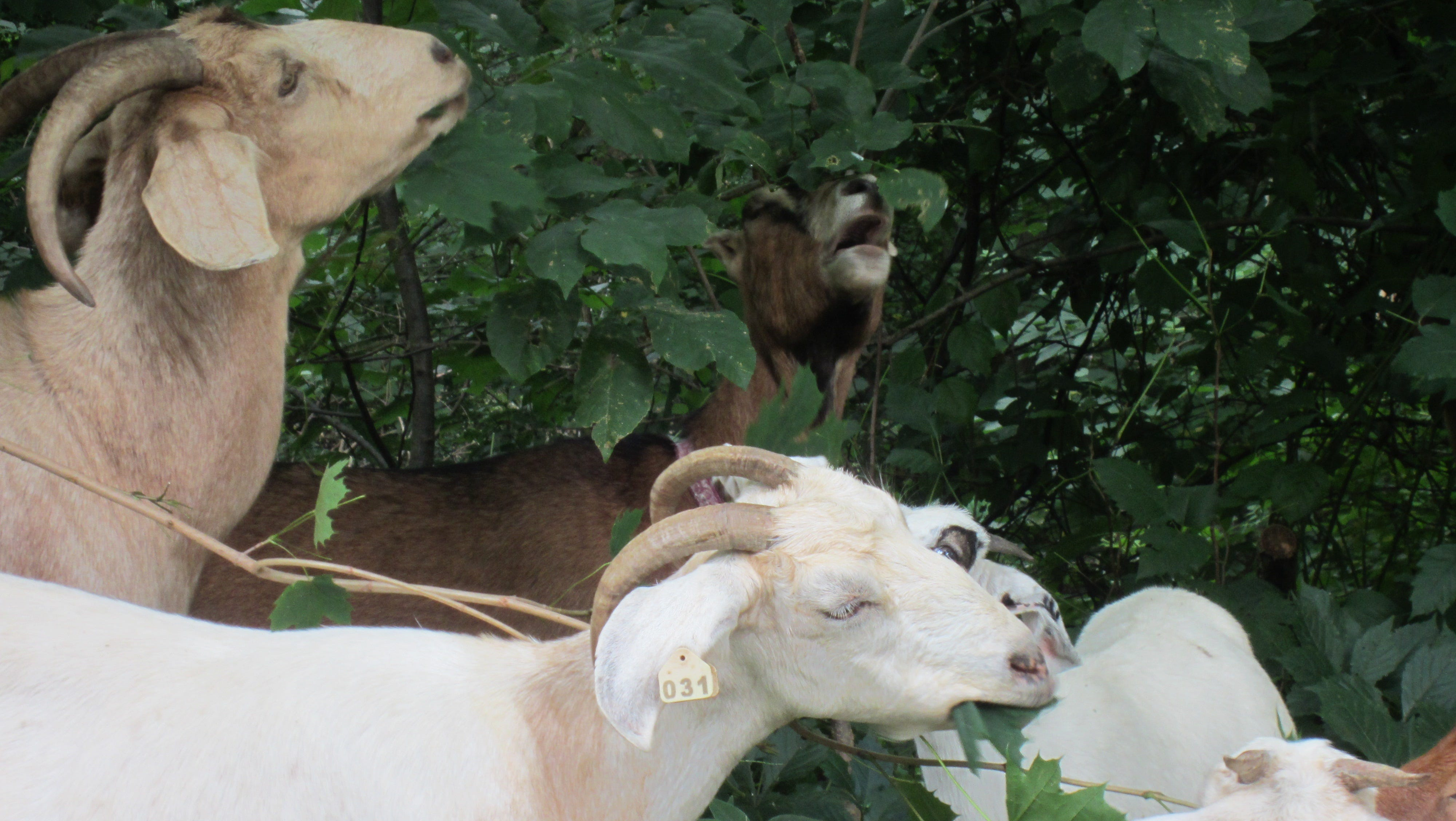Goats help clear a woody area on Haverford Campus.