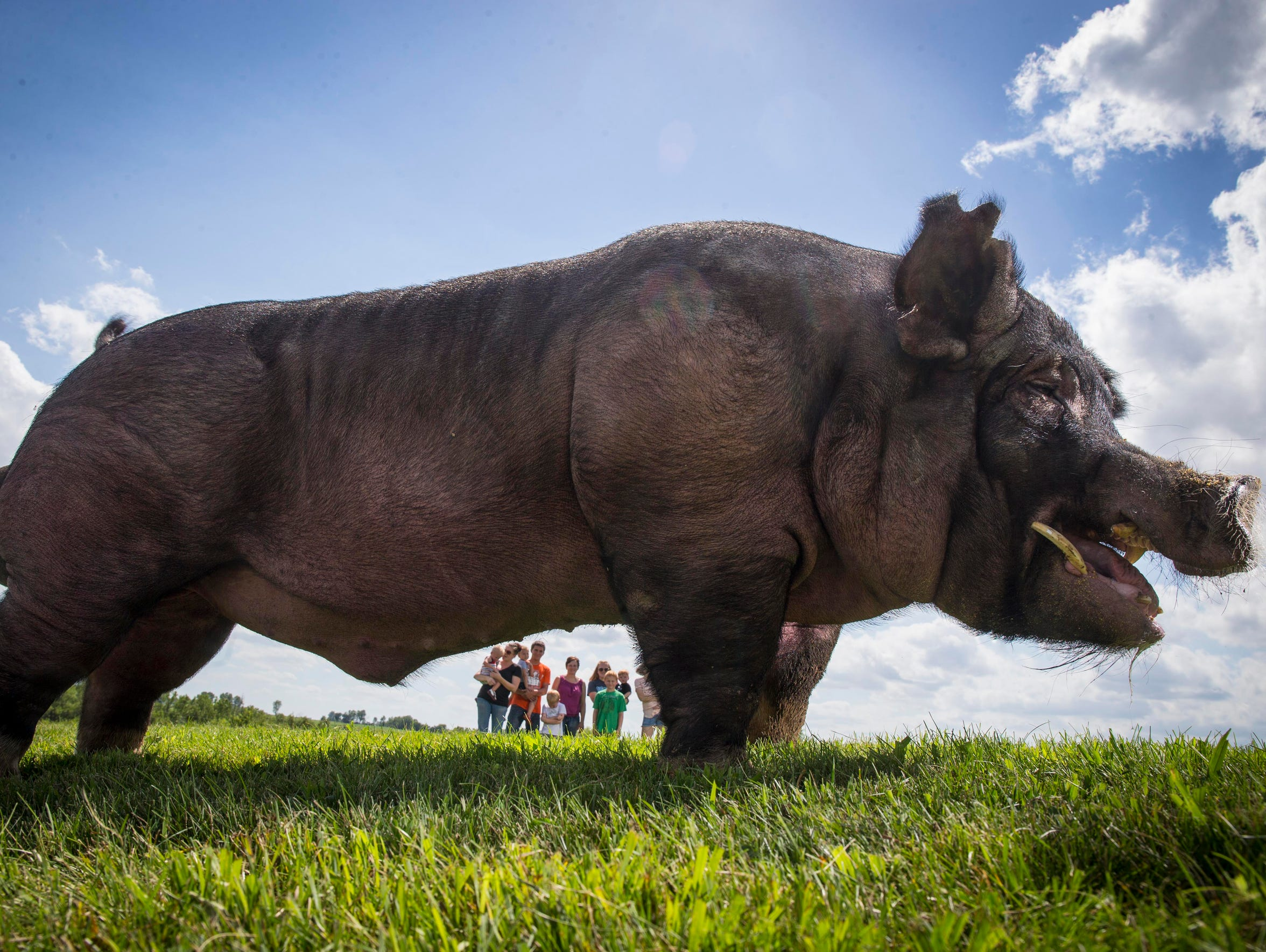 Turbo Charge, a boar owned by Steve and Dara Queck