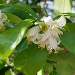 Citrus trees a sweet (or sour) addition to any garden