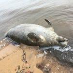 Pensacola couple spots dead manatee on Pensacola Bay shoreline