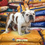 Griff, Drake's bulldog mascot, is collecting food for needy pets