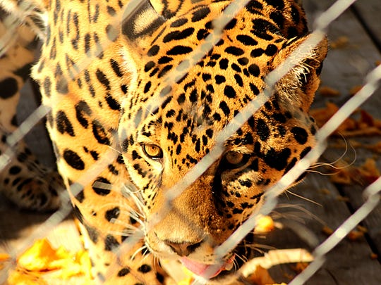 A jaguar savors meaty treats found inside a pumpkin left in its exhibit during the annual Harvest Festival at the Animal Ark wildlife sanctuary north of Reno on Saturday, Oct. 18, 2014.