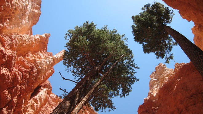 """""""Hiking the Navajo Loop trail in Bryce National Park. We saw a small stand of Fir Trees rising above a short slot canyon on the trail."""""""