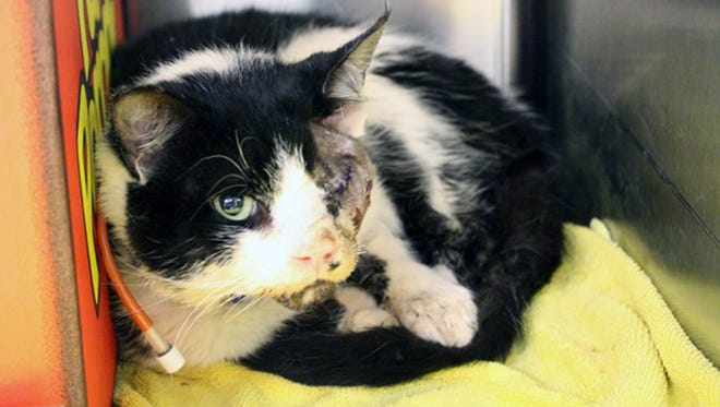 Bart, who survived being hit by a car and burial alive, was resting Feb. 2, 2015, after surgery at The Humane Society of Tampa Bay, but veterinarians say he has to have a feeding tube until his jaw heals.