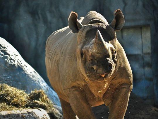 Jello the rhino died Monday.