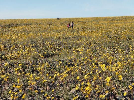 A display of Desert Gold flowers 10 miles south of Badwater.