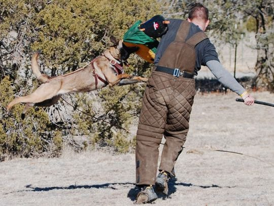 A Belgian Malinois demonstrates in a training exercise