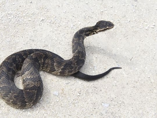 File art of a cottonmouth snake, also known as a water