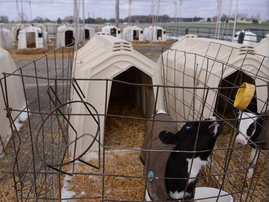 Scout, the latest calf of 11-year-old dairy cow Ellie, stands in an enclosure on Monday, Dec. 5, 2016 at the Michigan State University Dairy Cattle Teaching and Research Center. Ellie gave birth to her tenth calf, Scout, in November.