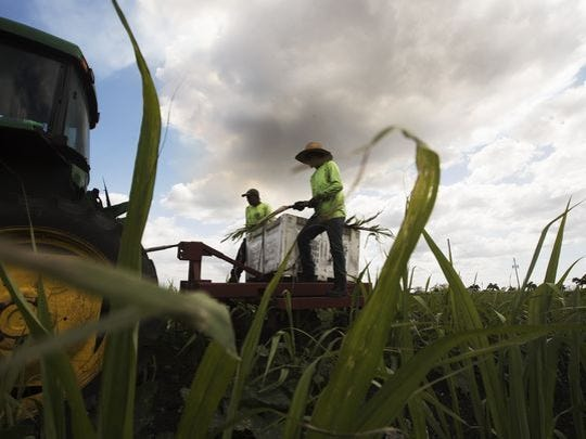 Pedro Yanes and Augusto Cazeras of Domingo Produce Inc. plant sugar cane on a field that abuts Lake Okeechobee near Clewiston.