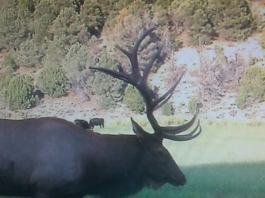 Trail camera photo of an elk that was subsequently