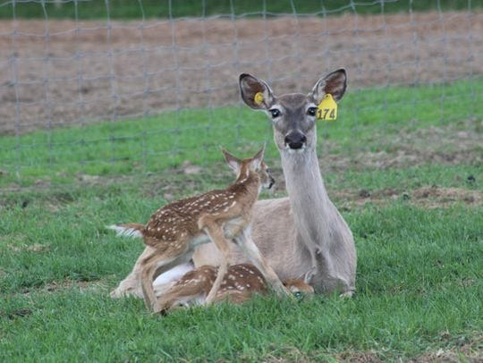 A white-tailed deer with two fawns on a Wisconsin captive