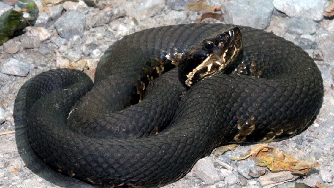 MO man dies of suspected cottonmouth snake bite