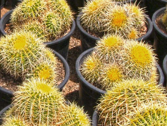 Beautifully round, the Golden Barrel Cactus grows quickly