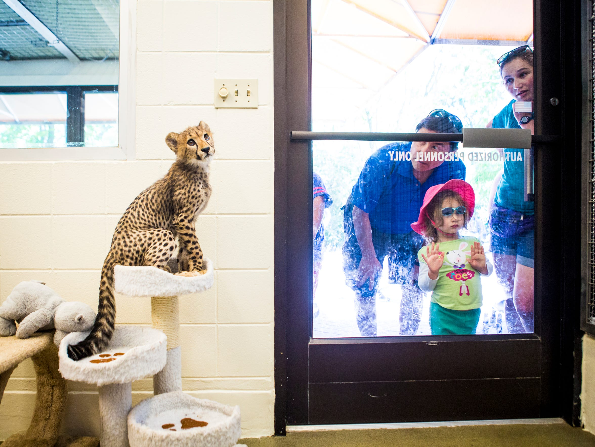 Donni, a 15-week-old cheetah cub, sits on cat tower