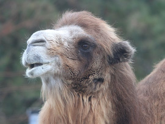 Lacey Township, NJ       Princess the Camel of the Popcorn Park Zoo in Lacey Twsp, NJ has picked the NY Giants to win this year's Super Bowl.   She is 5-1 in picking past Super Bowls and 14 for 20 in this year's NFL games.  1/27/2012 TOM SPADER/ASBURY PARK PRESS