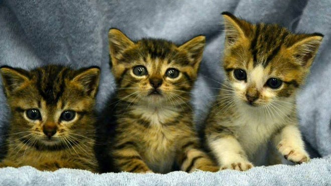 Kittens will be available Sunday when Friends Underwriting Rescues teams up with Spotted Cat Antiques for a kitten adoption day.  Submitted photo