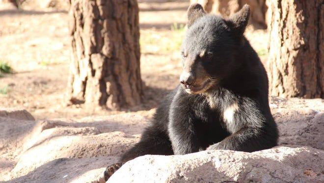 A bear takes it easy at Bearizona Wildlife Park.