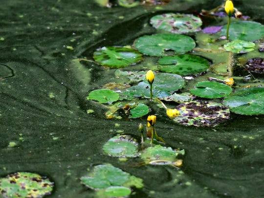 The surface of a pond owned by Kathy Pentz, 73, which