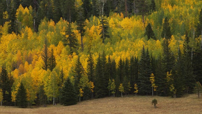 Fall colors on the North Kaibab Ranger District. Pleasant Valley, Highway 67. Lone horseman with stock heading south for the winter. Credit: Kaibab National Forest.