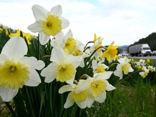 Perennials like these daffodils along Pellissippi Parkway