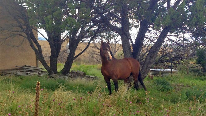 Big Boss, the stallion of the herd hauled away, has been seen in the area looking for his mares and his offspring.
