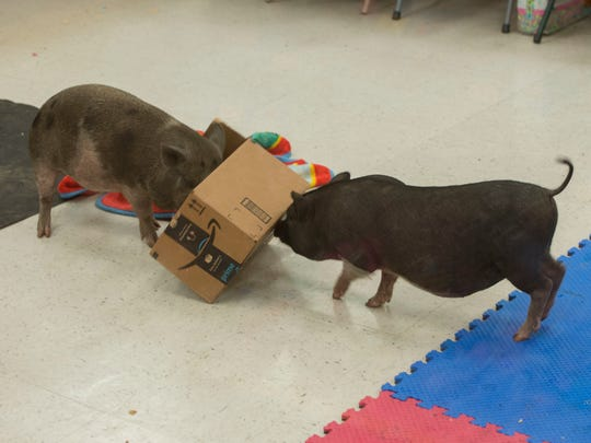 Mini Pigs play with a box Saturday, July 28, 2018 during the Animals Allies Mini Pig Adoption at PetSmart on Davis Hwy.