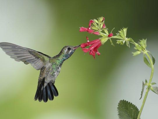 Broadbilled Hummingbird at Salvia