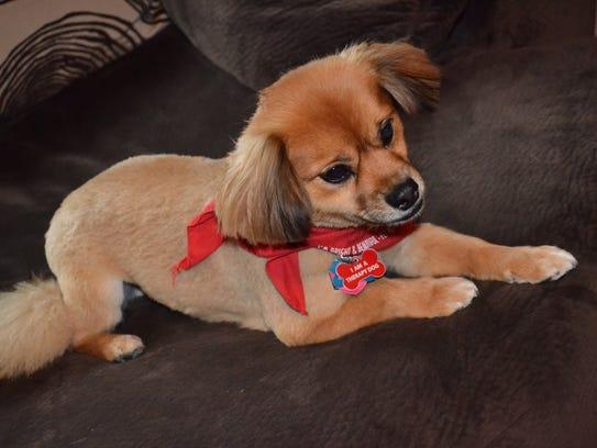 Flynn, a Tibetan Spaniel/Pomeranian mix, enjoys pet