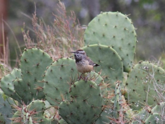 A cactus wren blends in with the environment of the