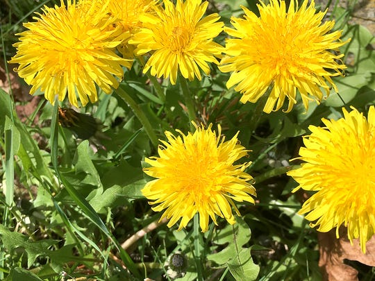 Gig Harbor resident Diane Wiley captured what some see as weeds, while others see the annual return of dandelion blooms as a surefire sign that spring has arrived.