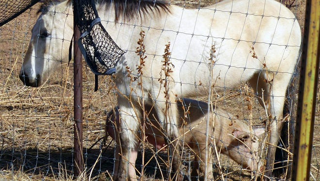 A lasting frienship seems to have evolved between a blue roan named Doe and a family pig.