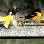 Birders prepare now for colorful visitors