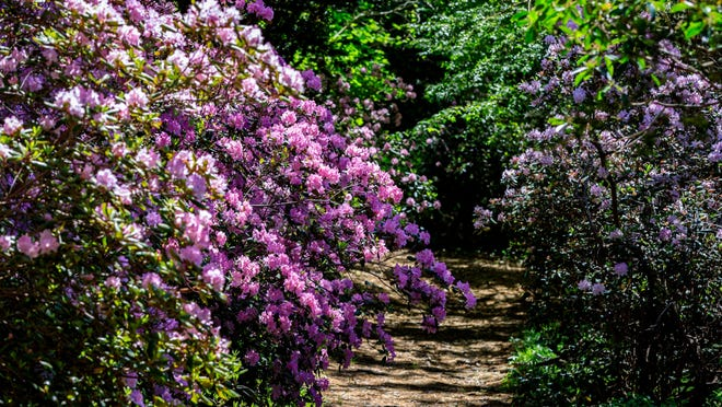 Rhododendrons in bloom at Heritage Museums & Gardens, which will reopen for the season on Saturday during peak time for the bushes.