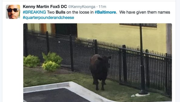 Two bulls escaped from a slaughterhouse in Baltimore