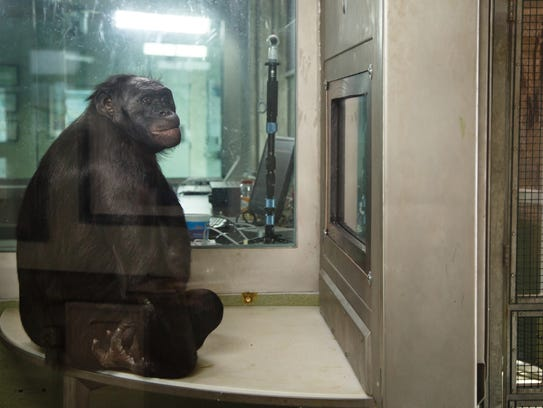 Kanzi, a 37 year old ape at the Ape Cognition and Conservation