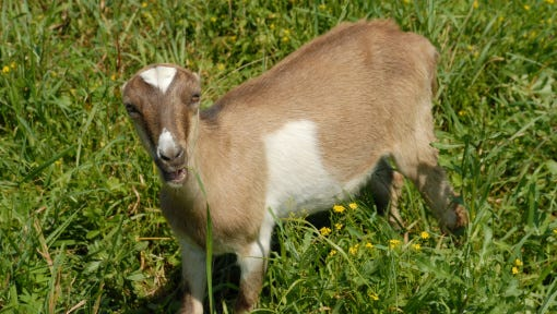 A Lamancha goat similar to this goat, but with stripes on its face, was stolen from Christo Rey Ranch in Mount Calvary, along with five 50 pound bags of feed.