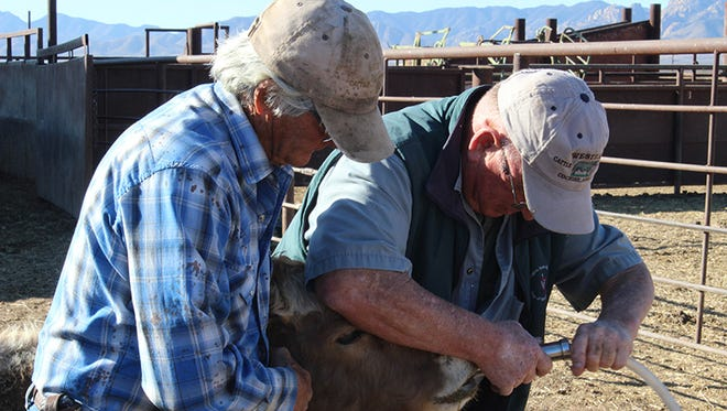 Thrasher (right) examines a cow with a colleague. He commonly travels 40 to 80 miles to visit ranches.