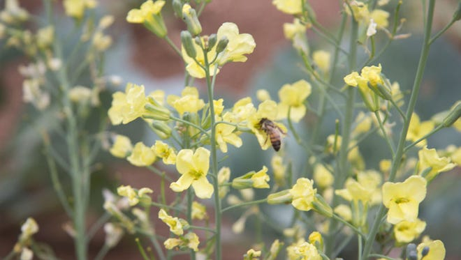 Chick-a-Bee Gardens in Gilbert uses bees to pollinate its vegetable crops.