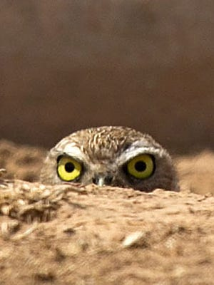 Ongoing research into burrowing owls takes place at Zanjero Park, where visitors can see and photograph the only owl that lives below ground.